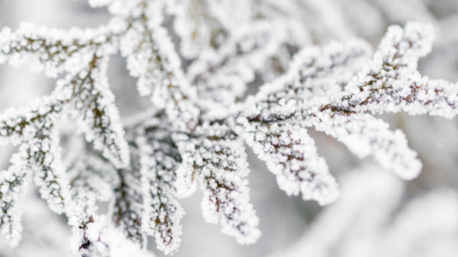 Frosty Ferns 1